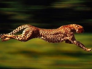 Cheetah 300x225 HIIT Workout For Rapid Fat Loss