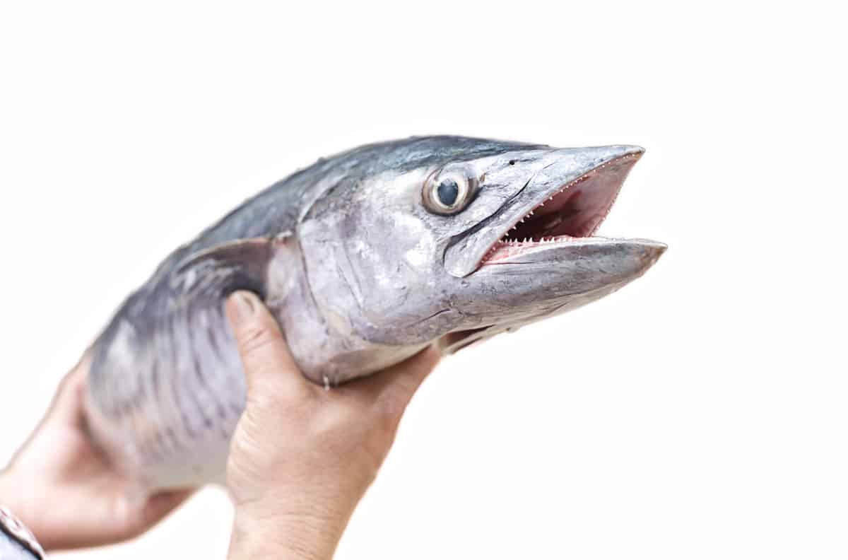 king mackerel bad for you