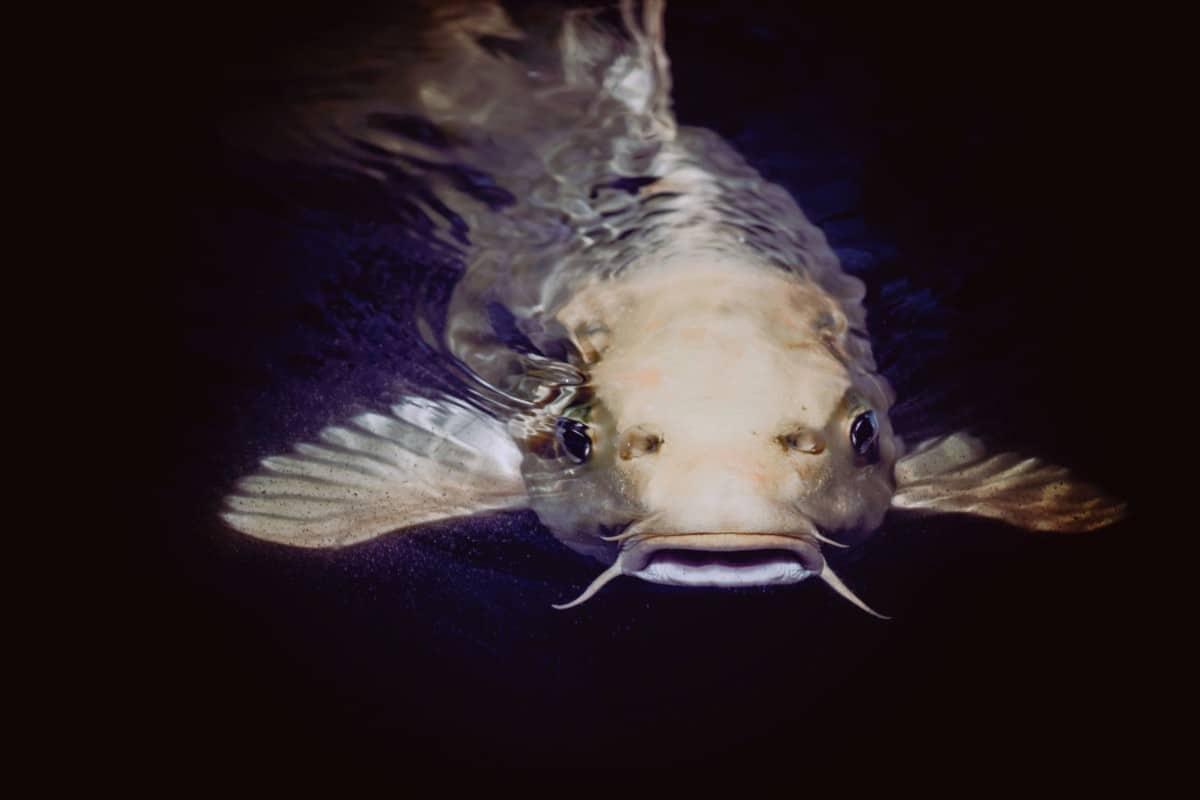 vietnam catfish bad for you