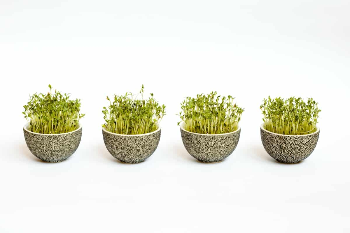 broccoli sprouts gut health