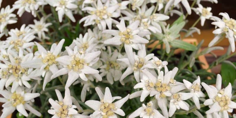 edelweiss-plant