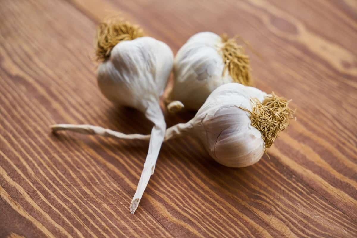garlic immune system