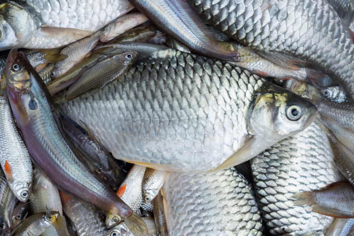is tilapia bad for you