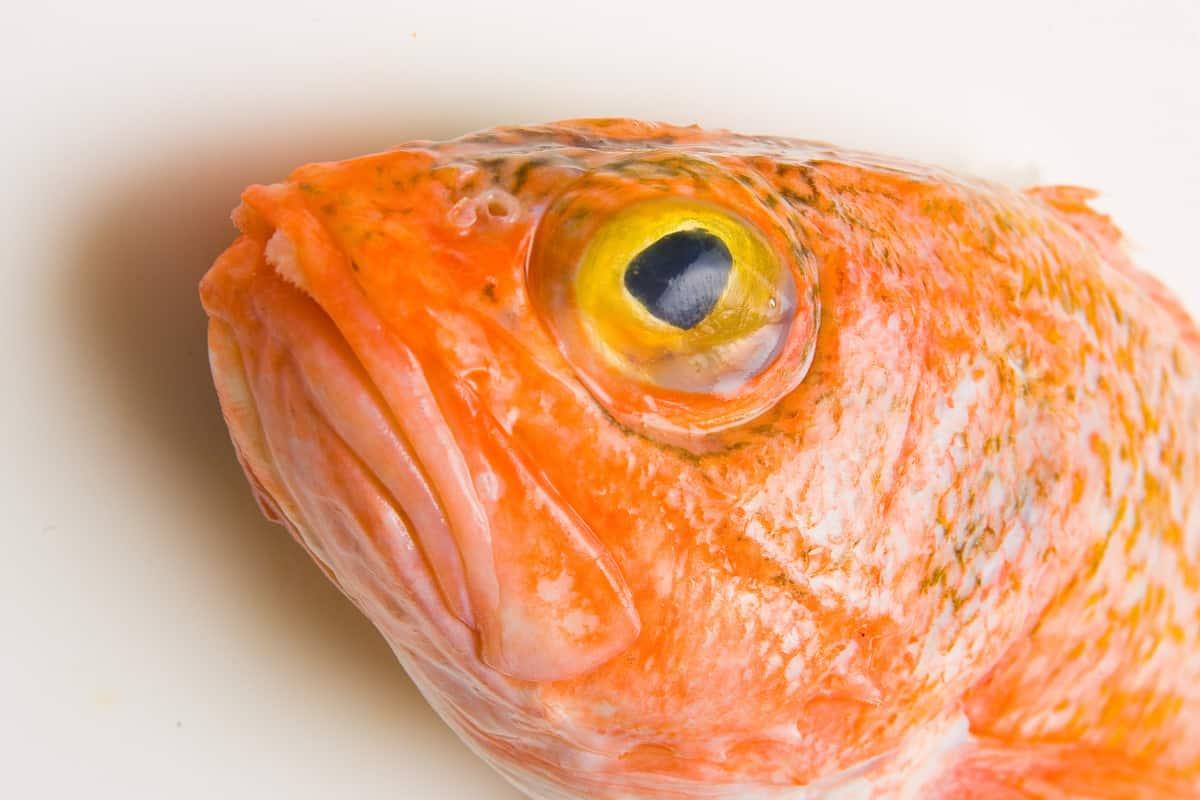 Orange Roughy