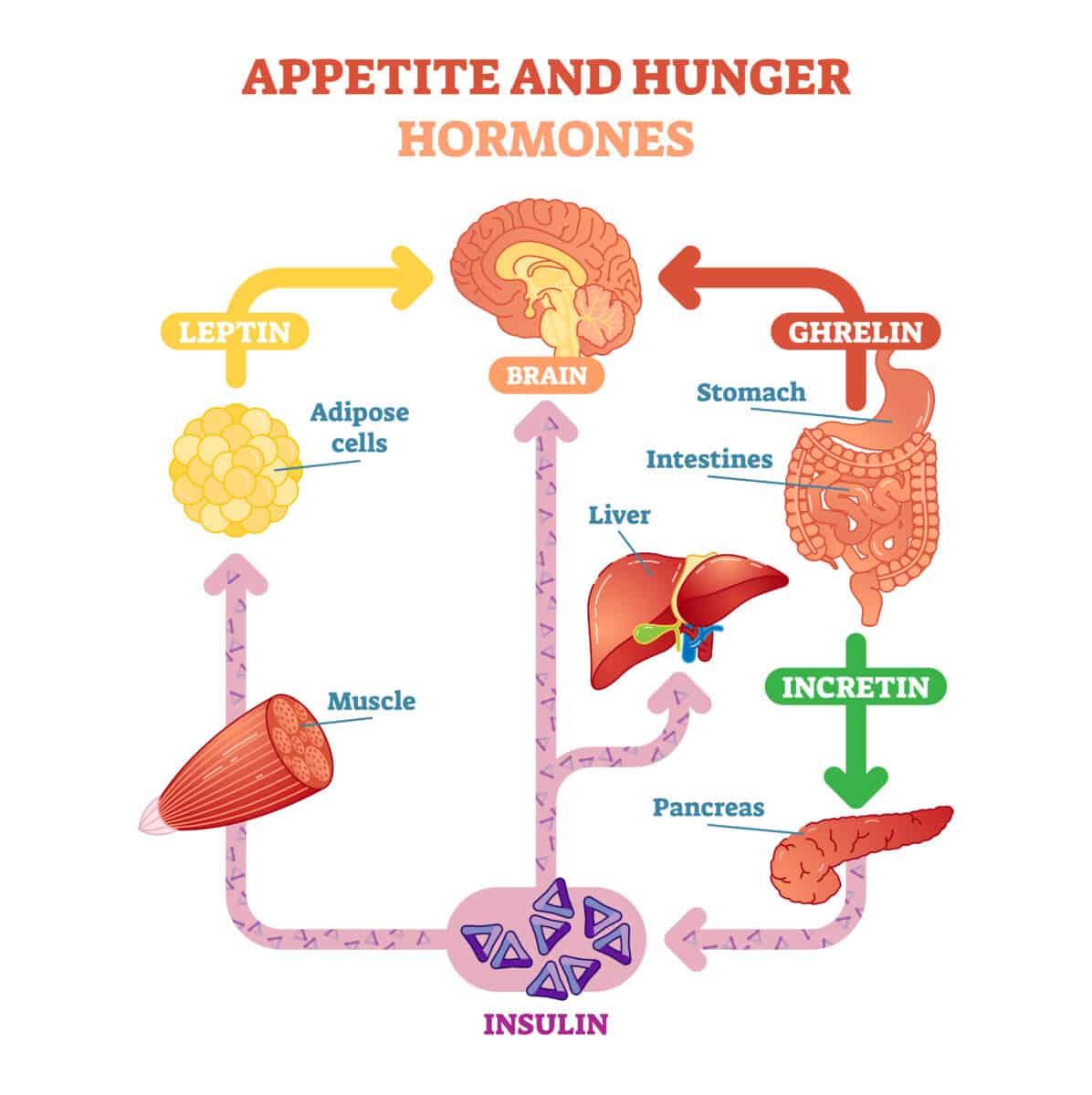 appetite hunger hormones